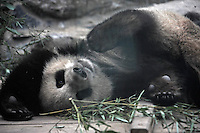 Panda Cui Cui that was brought from the damaged Wolong panda reserve to Beijing  in Beijing Zoo, 14th August 2008.   Cui cui spent hours  terrified in a tree and had to be rescued by several People at the panda reserve. Eight tramatised one and two year-old  pandas, including Cui Cui were brought from Wolong to Beijing for recuperation and have been placed in aan Olympic Panda exhibition at Beijing zoo and are recieving unprecadented number of visitors.  The pandas were so scaerd during the quake and refused to come down from the trees. The Wolong keepers that accompanied the pandas to Beijing cuddle and play with pandas to help them recover from their horrific experience. <br />