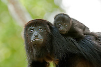 Howler Monkeys, Belize