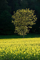 DEU, Deutschland, Bayern, Niederbayern, Naturpark Altmuehltal, einzelner Baum im Rapsfeld | DEU, Germany, Bavaria, Lower Bavaria, Nature Park Altmuehltal, single tree in canola field