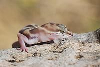 Tucson banded gecko, Coleonyx variegatus bogerti. Saguaro National Park, Arizona