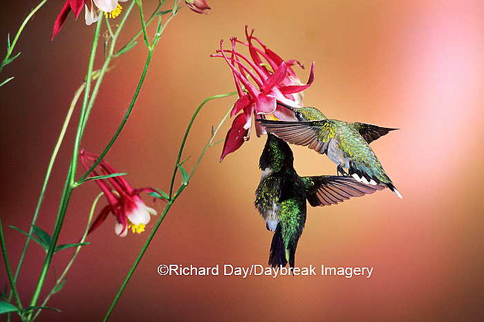 01162-070.15 Ruby-throated Hummingbirds (Archilochus colubris) male & female on Crimson Star Columbine (Aquilegia x hybrida) IL