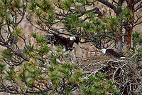 Bald Eagle Nest (Haliaeetus leucocephalus)--adult bringing food into nest in tall ponderosa pine tree.  Oregon.  April.