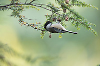 Black-capped Chickadee (Poecile atricapillus atricapullus) feeding in a Hemlock Tree (Tsuga sp.) in New York City's Central Park.