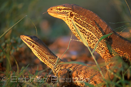Yellow-spotted Monitor (Varanus panoptes) male (larger, throat inflated) mating female, Kimberley, Western Australia