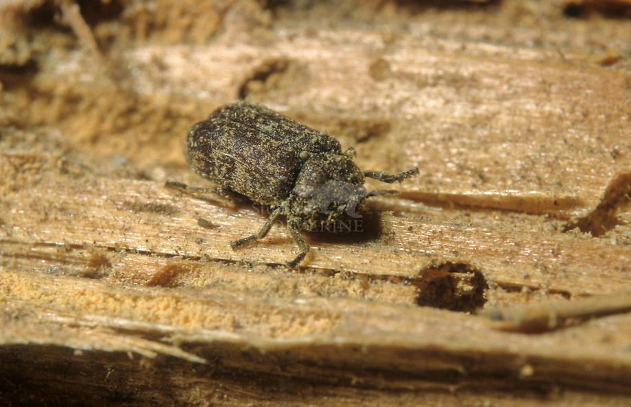 Grote houtwormkever (Xestobium rufovillosum)