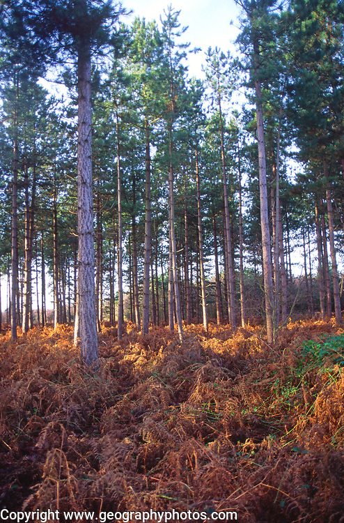 A07WW3 Suffolk Sandlings heathland bracken and conifer forestry trees England