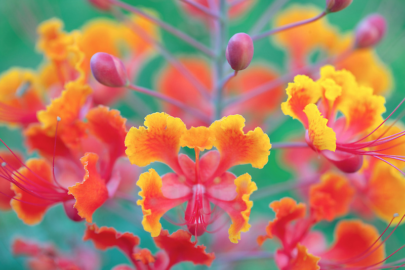 Close up of Dwarf Poinciana, Red Bird of Paradise, (Caesalpinia pulcherrima). Palm desert, California