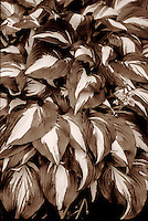 Layers of leaves of Hosta 'Undulata Univitatta', Vancouver, BC.