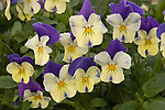 Waterfall Pansy, Viola hybrid