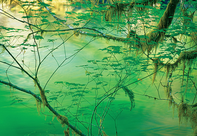 Abstract Design of Mossy Spring Vine Maple Leaves and Branchs Haning Over the Sol Duc River, Olympic National Park, Washington State