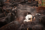 White face calf in the middle of a group of black calves during spring branding and calf marking at the Lavaggi Ranch in the Sierra Nevada Foothills near Plymouth, California..