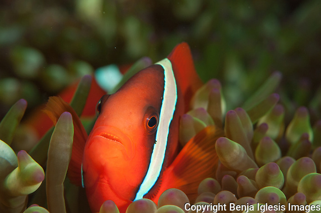 Clownfish at sand triangle Kerama Islands Japan.