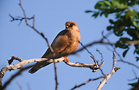 Rotfußfalke, Weibchen, Falken, Falke, Falco vespertinus, red-footed falcon, western red-footed falcon, female, Le Faucon kobez