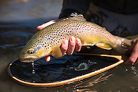 An angler releases a brown trout.