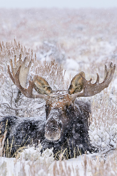 Bull Moose resting out on sage flats during snowstorm.  Grand Teton National Park, Wyoming.   Snow.  Winter.