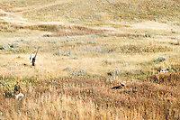 Upland game birds hunters follow their dogs into the field during a hunt near the Missouri River Breaks in central Montana.