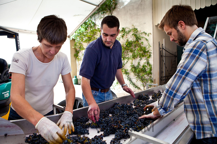 Olivier Berrouet, Oenologist, helps sort grapes by hand at famous Chateau Petrus wine estate at Pomerol in Bordeaux, France