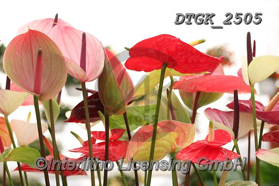 Gisela, FLOWERS, BLUMEN, FLORES, photos+++++,DTGK2505,#f#, EVERYDAY