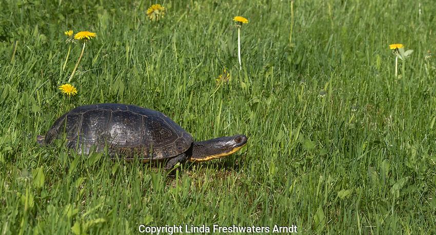Blanding's turtle in northern Wisconsin