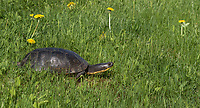 Blanding's turtle in northern Wisconsin