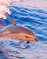 A baby pantropical spotted dolphin (Stenella attenuata) jumps out of a boat's wake at sunset, Kona, Big Island.