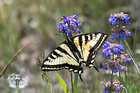 Western Tiger Swallowtail on Small Flowered Penstemon