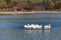 A pod of American White Pelicans floats on the water at Lake Elizabeth in Fremont, California.
