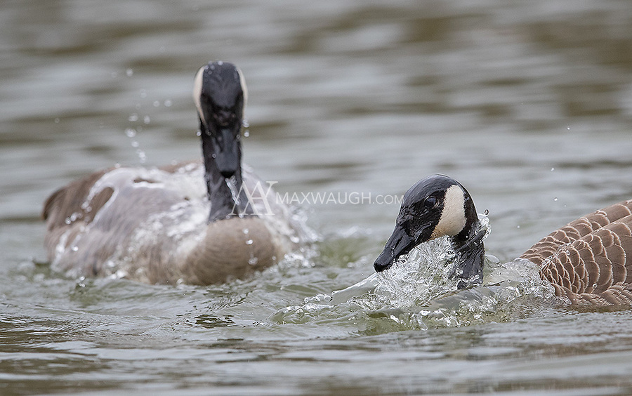 At Reifel we witnessed some interesting behavior I'd never seen: Canada goose courtship.  Pairs of geese would take turns dipping their heads under water, indicating to each other that they were ready to mate.
