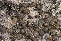 Europäisches Wildkaninchen, Wild-Kaninchen, Kaninchen, Losung, Kot, Oryctolagus cuniculus, Rabbit, Lapin de garenne