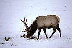 WY: Grand Teton National Park, Wyoming; Elk at Jackson Hole National Elk Refuge in winter    .Photo Copyright: Lee Foster, lee@fostertravel.com, www.fostertravel.com, (510) 549-2202.Image: wygran205
