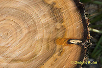 TT11-506z  Tree trunk cross sections showing growth rings and bark, American Elm, Ulmus americana