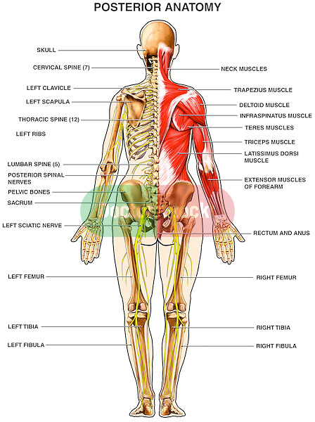 human anatomy - muscles of the back | doctor stock, Skeleton