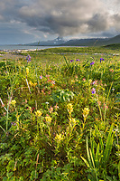 Field of wildflowers in Katmai National Park, Alaska Peninsula, southwest Alaska. Aleutian mountain range in the distance.