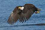 A bald eagle flying over Kachemak Bay in Homer, Alaska.