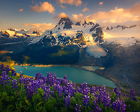 A patch of wild lupines atop a ridge of lush meadows during a vibrant sunset.