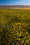 Field of yellow daisies at sunset near Soda Lake at the Carrizo Plain National Monument