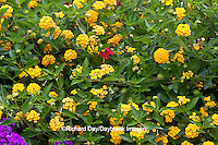 63821-22004 New Gold Lantana (Lantana camara) & Homestead Purple Verbena (Verbena canadensis) Marion Co., IL