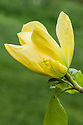 Yellow flower of Magnolia 'Honey Liz', mid May.
