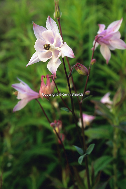 Columbine, Aquilegia canadensis, blooming in Lincolnville, Maine, USA