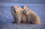 A polar bear and her two cubs sit on the ice.
