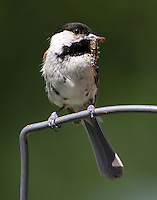 Carolina chickadee with worm to feed babies