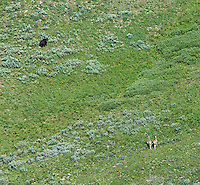 A grizzly bear and two mule deer face off in Pelican Valley.  Photographed during an aerial shoot of Yellowstone National Park.