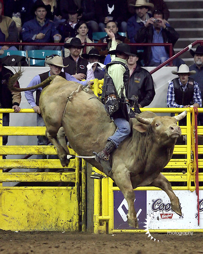 1/24/09--Photo by Rick Davis--PRCA cowboy Chris Roundy of Payson, Utah competes on the bull Freebird during action at the 103rd National Western Stock Show and Rodeo in Denver, Colorado.