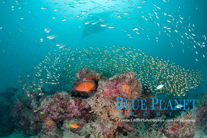 coral grouper, coral cod, or coral hind, Cepalopholis miniata, with golden sweepers, Parapriacanthus ransonneti, surrounding coral head at mouth of Hanifaru Bay, Hanifaru Lagoon, Baa Atoll, Maldives, Indian Ocean and reef manta ray, Manta alfredi, in background