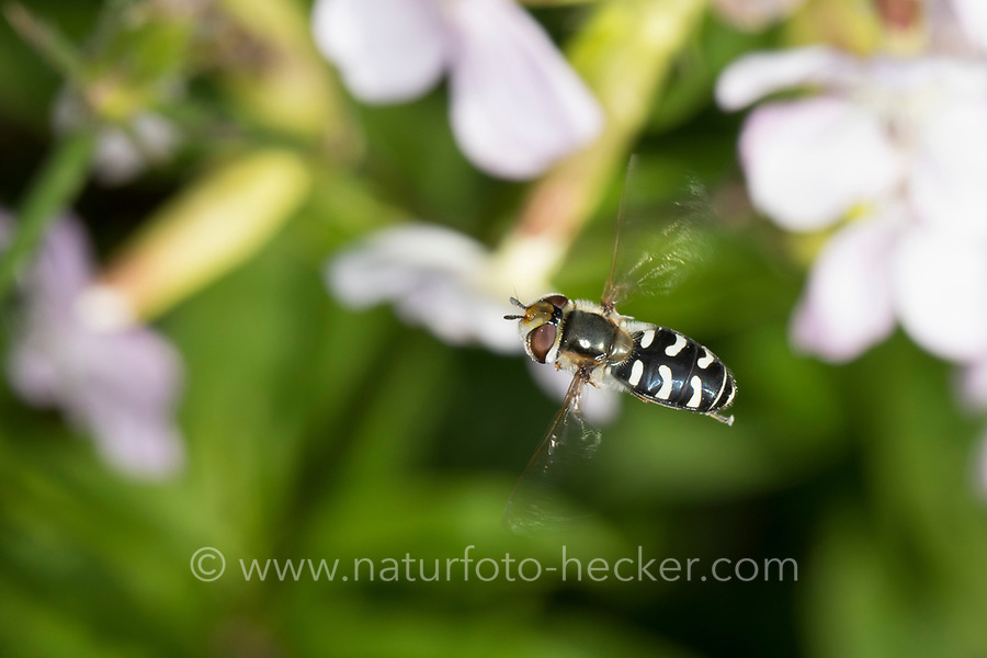 Späte Großstirnschwebfliege, im Flug, fliegend, Späte Großstirn-Schwebfliege, Weiße Dickkopf-Schwebfliege, Blasenköpfige Schwebfliege, Halbmondschwebfliege, Halbmond-Schwebfliege, Johannisbeer-Schwebfliege, Weibchen, Scaeva pyrastri, pied hoverfly, cabbage aphid hover fly, female, Le Syrphe pyrastre
