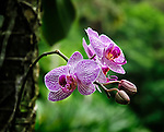 A phalaenopsis orchid growing on the side of a palm tree, at the McBryde Garden, Kauai, Hawaii