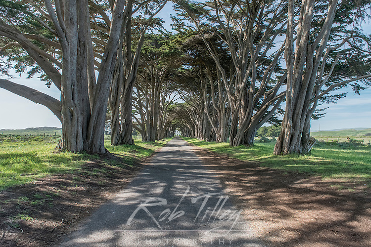 USA, CA, Point Reyes National Seashore, Cypress Tree Tunnel at US Coast Guard Station