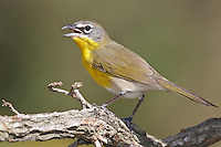 Yellow-breasted Chat (Icteria virens