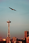 Seattle, Bald eagle over Seattle's Space Needle, wildlife in the city, Washington State, Pacific Northwest, USA,