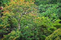 Rainforest with African Tulip Tree in bloom. Hanaunau Coast. Hawaii, The Big Island.